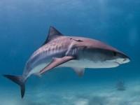 requin bouldogue